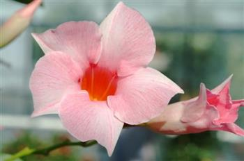 Dipladenia Sundaville Sunparapibra